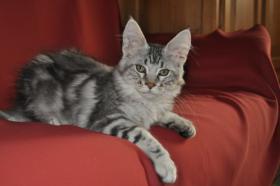 Foto 7 Maine Coon Kitten suchen ein Zuhause