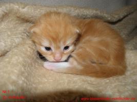 Maine Coon Kitten suchen bald neues Zuhause