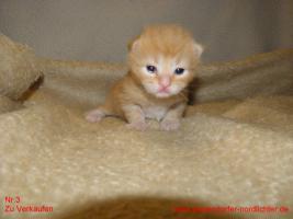 Foto 3 Maine Coon Kitten suchen bald neues Zuhause