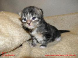 Foto 4 Maine Coon Kitten suchen bald neues Zuhause