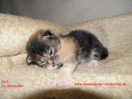 Foto 5 Maine Coon Kitten suchen bald neues Zuhause