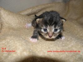 Foto 6 Maine Coon Kitten suchen bald neues Zuhause
