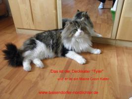 Foto 8 Maine Coon Kitten suchen bald neues Zuhause