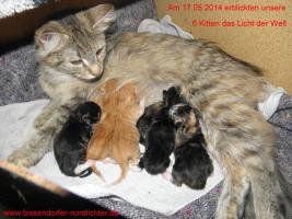 Foto 9 Maine Coon Kitten suchen bald neues Zuhause