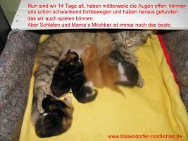 Foto 10 Maine Coon Kitten suchen bald neues Zuhause
