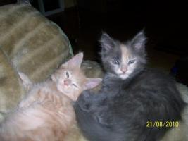 Maine-Coon-Kitten suchen ein neues Zuhause!
