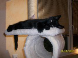 Foto 2 Maine-Coon-Kitten suchen ein neues Zuhause!