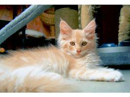 Foto 5 Maine Coon Kitten , 14 Wochen