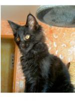 Foto 6 Maine Coon Kitten , 14 Wochen