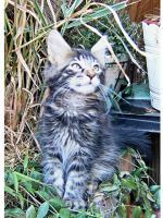 Foto 7 Maine Coon Kitten , 14 Wochen