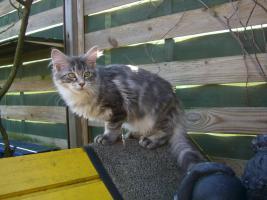 Maine Coon Kitten  / Kastrat