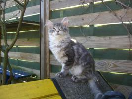 Foto 2 Maine Coon Kitten  / Kastrat