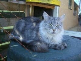 Foto 3 Maine Coon Kitten  / Kastrat