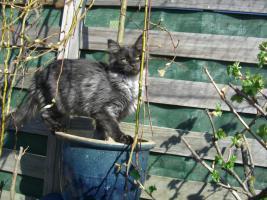 Foto 4 Maine Coon Kitten  / Kastrat