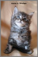 Maine Coon Kitten - Traumhafter Junge in black silver tabby