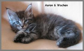 Foto 2 Maine Coon Kitten - Traumhafter Junge in black silver tabby