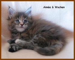 Foto 3 Maine Coon Kitten - Traumhafter Junge in black silver tabby