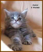 Foto 4 Maine Coon Kitten - Traumhafter Junge in black silver tabby