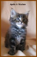 Foto 5 Maine Coon Kitten - Traumhafter Junge in black silver tabby