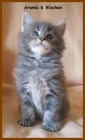 Foto 6 Maine Coon Kitten - Traumhafter Junge in black silver tabby