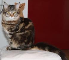 Foto 3 Maine Coon Kitten - Zucht- und Showgeeignet