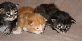 Maine Coon Kitten, Zucht- und Showgeignet