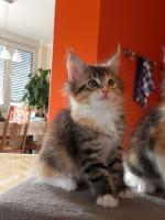 Maine Coon Kitten   - dreifarbige Glückskätzchen