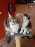 Foto 3 Maine Coon Kitten   - dreifarbige Glückskätzchen