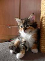 Foto 4 Maine Coon Kitten   - dreifarbige Glückskätzchen