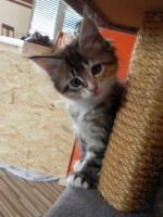 Foto 5 Maine Coon Kitten   - dreifarbige Glückskätzchen