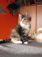 Foto 6 Maine Coon Kitten   - dreifarbige Glückskätzchen