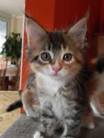 Foto 7 Maine Coon Kitten   - dreifarbige Glückskätzchen