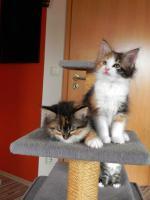 Foto 8 Maine Coon Kitten   - dreifarbige Glückskätzchen