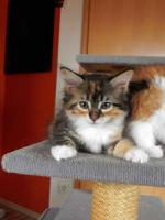 Foto 9 Maine Coon Kitten   - dreifarbige Glückskätzchen