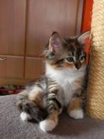 Foto 10 Maine Coon Kitten   - dreifarbige Glückskätzchen