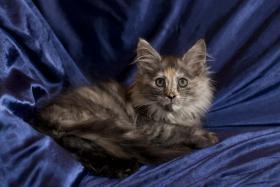 Maine Coon Kitten, reinrassig mit Papieren