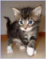 Foto 2 Maine-Coon-Kitten, reinrassig, mit Papieren