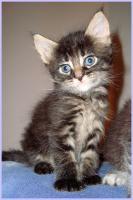 Foto 3 Maine-Coon-Kitten, reinrassig, mit Papieren