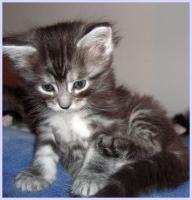 Foto 4 Maine-Coon-Kitten, reinrassig, mit Papieren