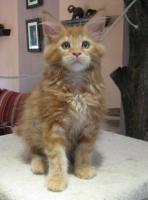 Foto 3 Maine Coon Kitten, typvolle und kräftige Katerchen