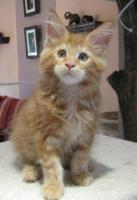 Foto 4 Maine Coon Kitten, typvolle und kräftige Katerchen