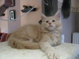 Foto 5 Maine Coon Kitten, typvolle und kräftige Katerchen