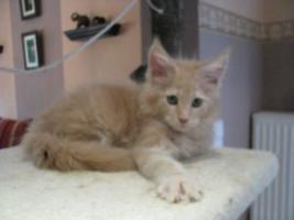 Foto 6 Maine Coon Kitten, typvolle und kräftige Katerchen