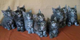Maine Coon Kitten - tyvolle und wunderschöne Babys