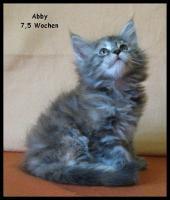 Foto 3 Maine Coon Kitten - tyvolle und wunderschöne Babys