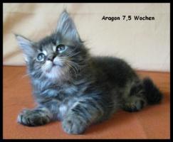 Foto 4 Maine Coon Kitten - tyvolle und wunderschöne Babys