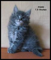 Foto 5 Maine Coon Kitten - tyvolle und wunderschöne Babys