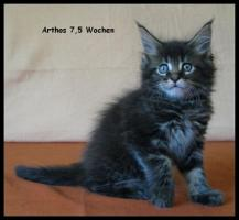 Foto 6 Maine Coon Kitten - tyvolle und wunderschöne Babys