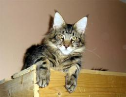 Maine Coon Kitten  völlig verschmuste Katerbärchens