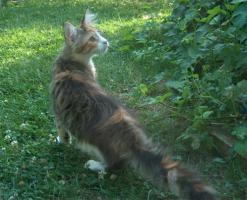 Foto 2 Maine Coon Kitten  völlig verschmuste Katerbärchens